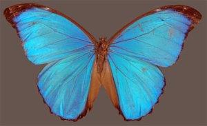 Menelaus blue morpho (Papilio menelaus)